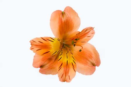 decoraton: Isolated flower