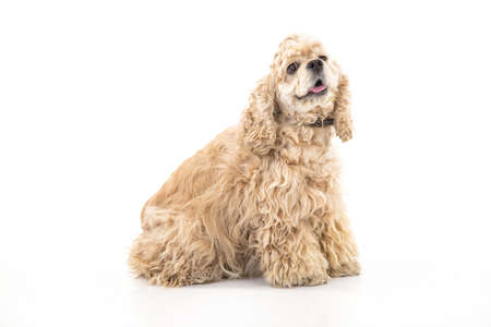 American fluffy cocker spaniel on an isolated studio background Stock Photo