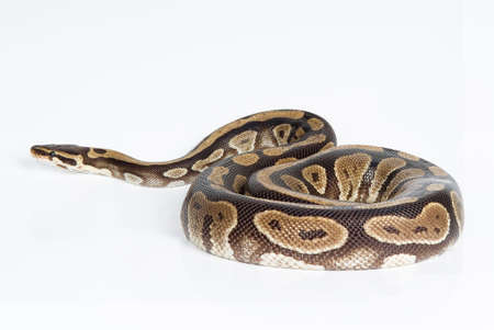 Royal python on an isolated studio background
