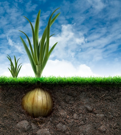 bulb and stem vegetables: An Onion Bulb and Grass in Blue sky