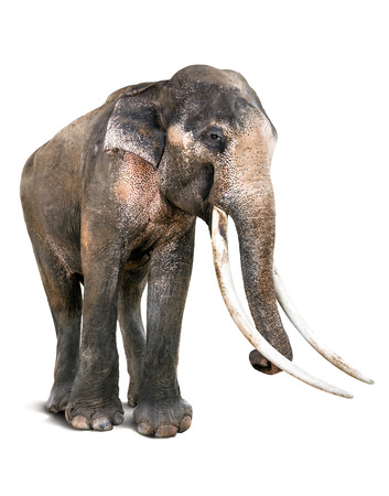 tusk: The Old Asia Elephant and Long Tusk