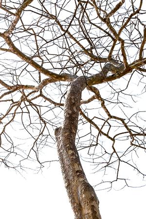 albero secco: Dead Tree and Dry isolati in sfondo bianco Archivio Fotografico