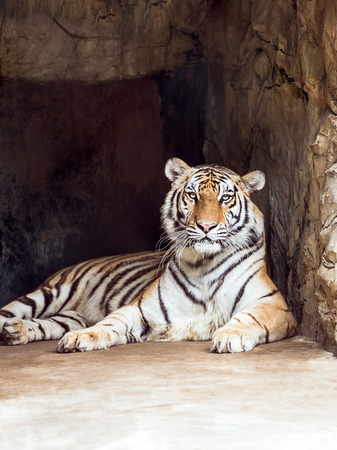quadruped: The single asian tiger in stone cave Stock Photo