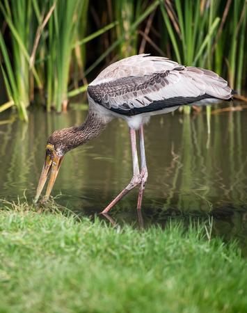 livelihood: The single marabou stork livelihood at riverside