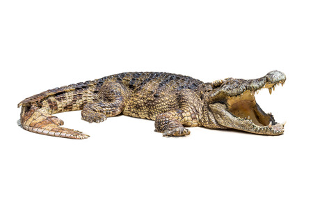 The wildlife crocodile