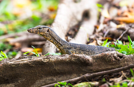 chasing tail: The wild water monitor lizard