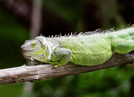 species of creeper: Green iguana hold on the dry timber
