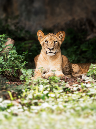 quadruped: Single young male lion in the forest Stock Photo