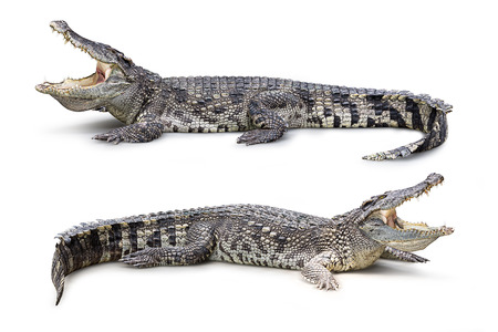 Group of wildlife crocodile isolated on white