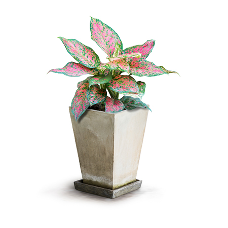 Pink houseplant for decoration isolated on white