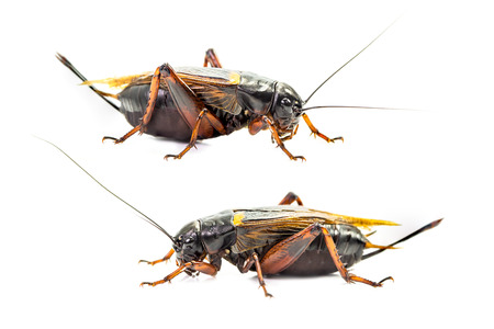 Group of cricket isolated on white background 写真素材