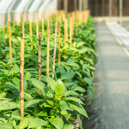 Cultivation of sweet pepper in plant nursery Stock Photo