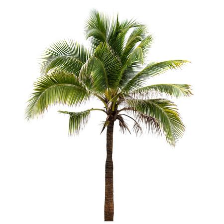 albero da frutto: Albero di cocco isolato su sfondo bianco