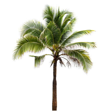 palmier: Cocotier isolé sur fond blanc