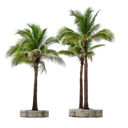 albero da frutto: Gruppo di albero di cocco isolato su sfondo bianco