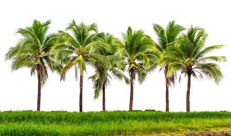 in row: Línea de árboles de coco y pastizales aislado en fondo blanco