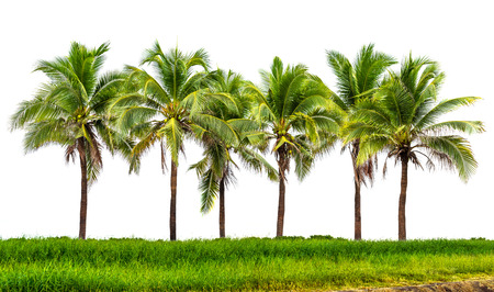 tree isolated: Line up of coconut tree and grassland isolated on white background Stock Photo