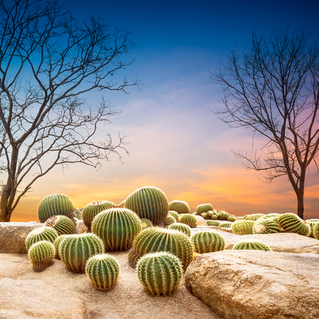Globe cactus and dead tree on sunset background