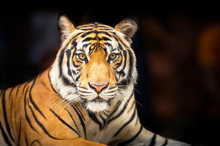 Young siberian tiger on dark background in action of looking to the camera