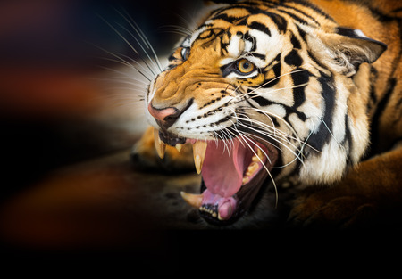 fierce: Young siberian tiger on dark background in action of growl Stock Photo