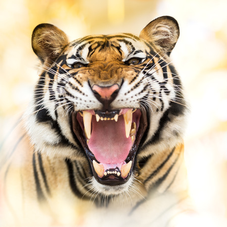 tigers: Young siberian tiger in action of growl Stock Photo