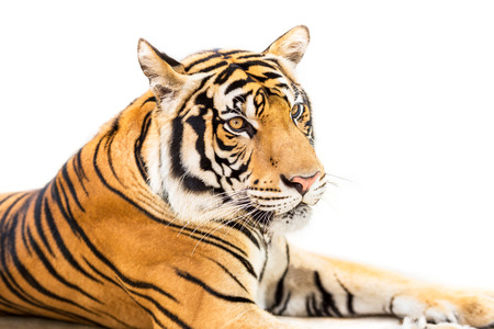 Crouching young siberian tiger isolated on white background