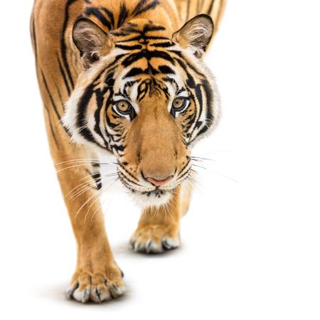 animales salvajes: Acecho del tigre siberiano joven aislado en fondo blanco Foto de archivo