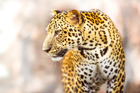 quadruped: Young leopard in action of looking at something