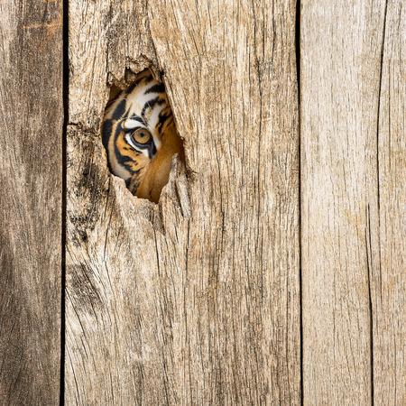 Сибирский тигр глаз в деревянном отверстие в концепции тайно опасно