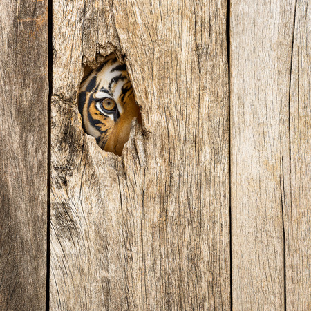 Siberian tiger eye in wooden hole in concept of secretly dangerous
