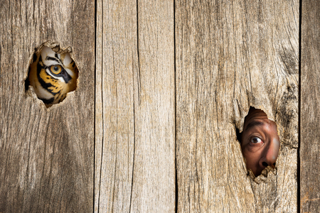 eye hole: Siberian tiger and human eye in wooden hole in concept of scared Stock Photo