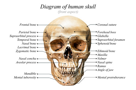 temporal: Front aspect of human skull diagram on white background for basic medical education Stock Photo
