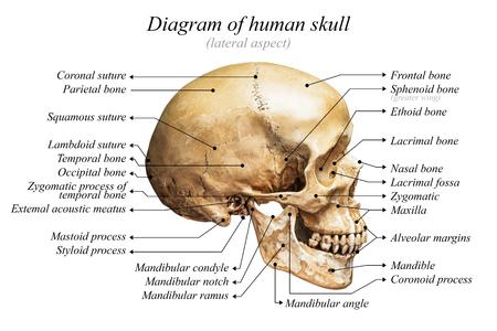 기본적인 의학 교육을위한 흰색 배경에 인간의 두개골 다이어그램의 측면