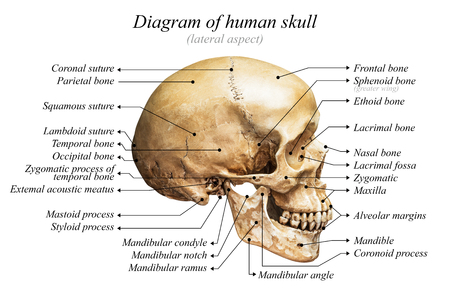 Lateral aspect of human skull diagram on white background for basic medical education Stock Photo