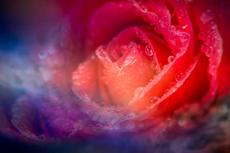 fantasy: Soft and blur of fantasy red rose petal with drop on blue light