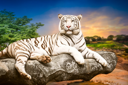 tigre blanc: Jeune tigre blanc du Bengale dans l'acte de se d�tendre sur la pierre au naturel coucher de soleil fond Banque d'images