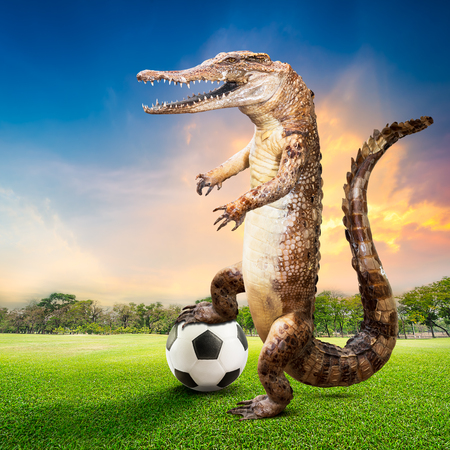 fierce competition: Taxidermy crocodile in the act of soccer player at the natural ground for sports on sunset background Stock Photo