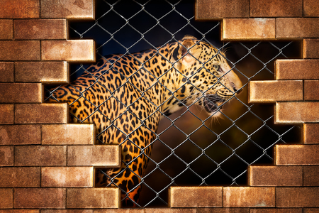 oppose: Young leopard internal the cage in concept of resist torture and torture the wildlife