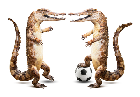 fierce competition: Taxidermy crocodile soccer player team isolated on white background with clipping path Stock Photo