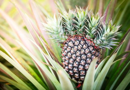 crop growing: Closeup of the pineapple crop growing on stem in farm