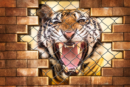 detain: Growl siberian tiger internal the cage in concept of resist detain and torture the wildlife