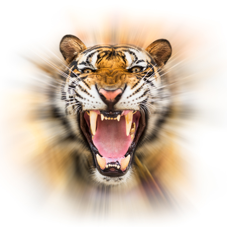 bluster: Young siberian tiger in action of growl on motion blur background