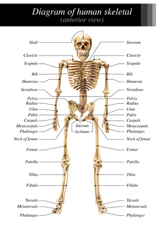 anterior: Human skeleton diagram in anterior view on white background for basic medical education