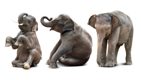 Cute baby asian elephant in various action isolated on white background 写真素材