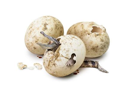 Babykrokodil brood uit de interne gebroken ei op een witte achtergrond in het concept van nieuw leven Stockfoto