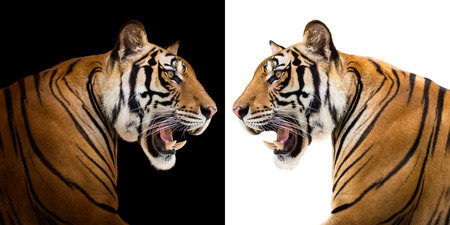 bluster: Young siberian tiger in action of growl isolated on black and white background