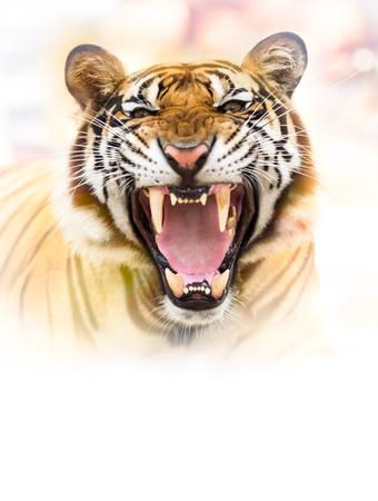 Jeune tigre sibérien dans l'action de growl
