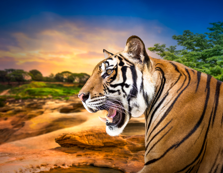 Young siberian tiger on sunset background Stock Photo