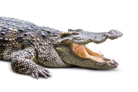 De wilde krokodil geïsoleerd op een witte achtergrond Stockfoto
