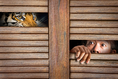 sufferer: Siberian tiger and human eye in wooden hole in concept of scared Stock Photo